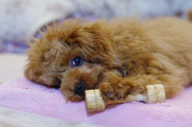 仔犬の飼育トラブルと愛情